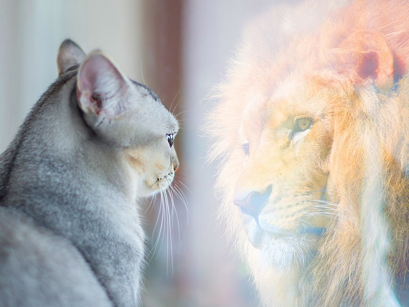 cat reflection of lion