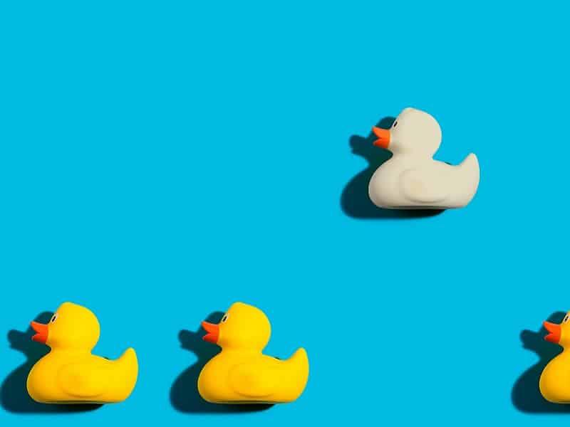 White duck separate yellow ducks
